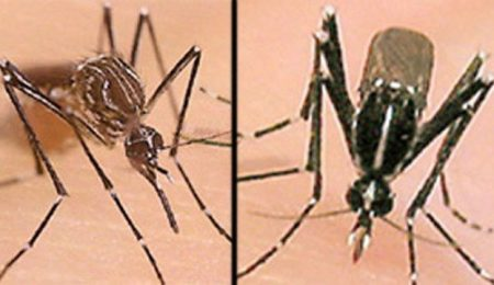 two close ups of mosquitos