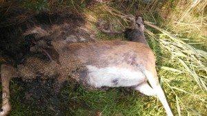 deceased deer
