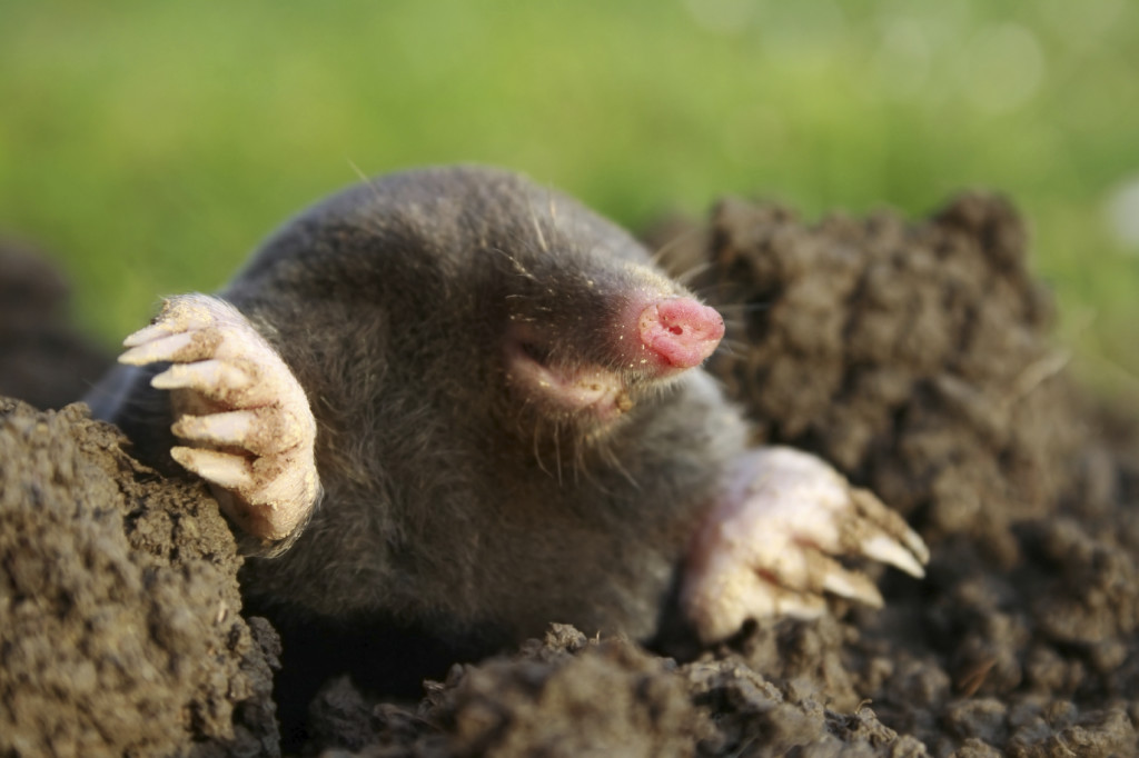 mole coming out of ant hole