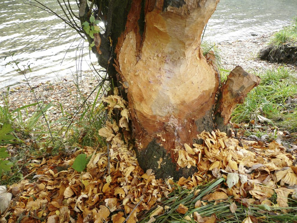 termite damaged tree