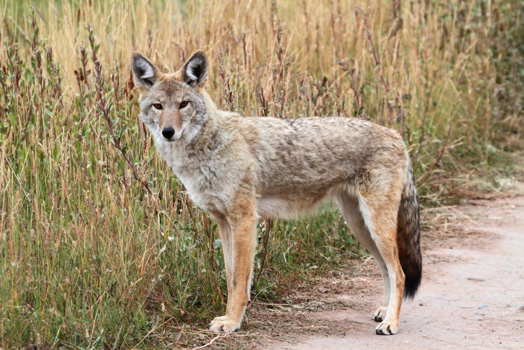 fox in wild attentive