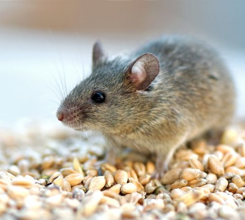 mouse standing on feed