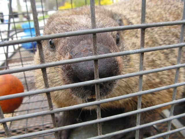 beaver in cage