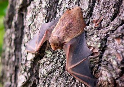 bat wings spread on tree bark