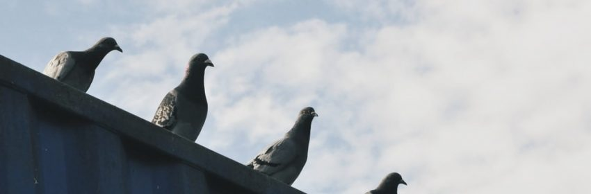 perched pigeons