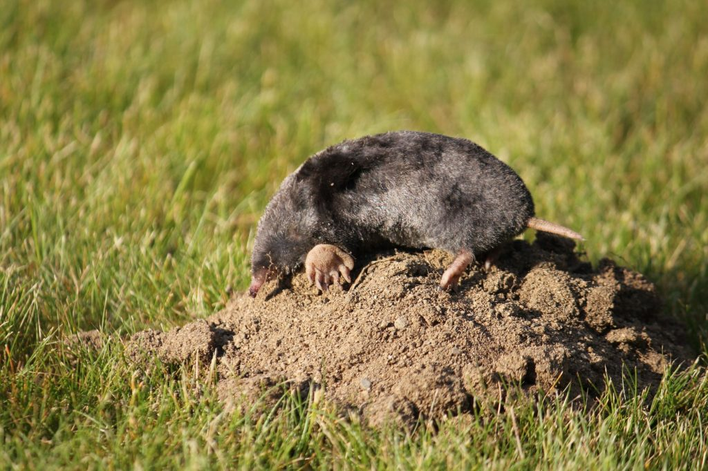 How To Keep Moles And Voles Out Of Garden Garden Ftempo