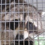 close up of raccoon trapped