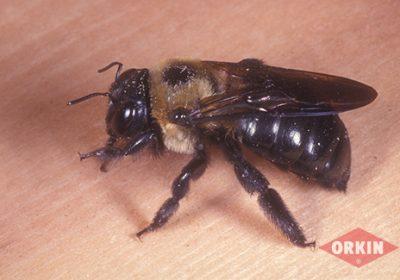 bee on wood orkin logo