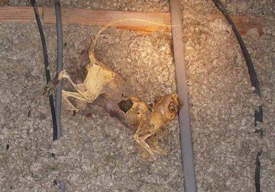 rodent carcass