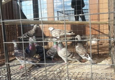 pigeons in cages