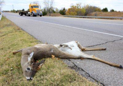 deer killed on side of road