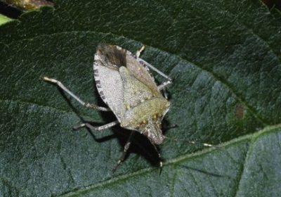 leaf bug on leaf